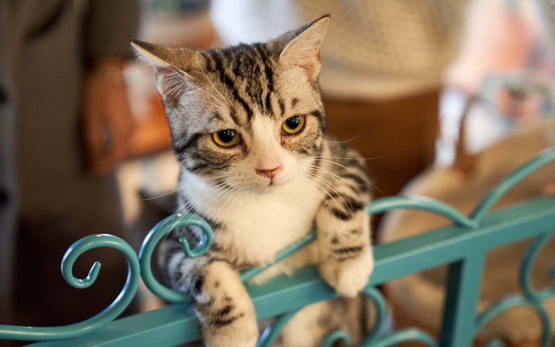 Do You Have Room in Your Home? (June Is Adopt a Shelter Cat Month)