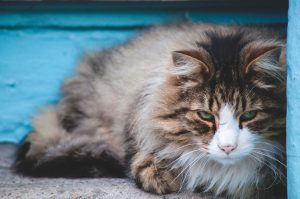Fluffy brown and white cat lying on the ground next to blue building
